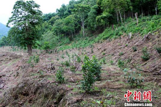 毁林百亩种茶被拘因为什么 具体什么原因