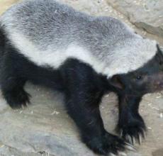"""""""平头哥""""是什么鬼,为什么蜜獾被叫做平头哥"""