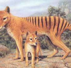 袋狼真的存在吗?袋狼到底是不是狼