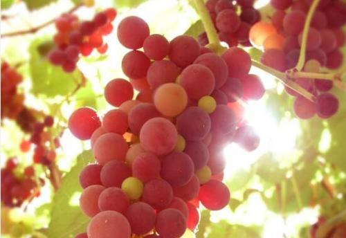 吃葡萄的好处和坏处 葡萄的营养价值有哪些