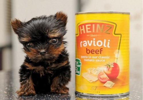 袖珍狗有多大 最新世界最小狗排行