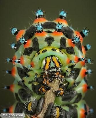 魔花螳螂是什么 10大怪异昆虫排行榜