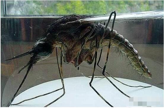 世界上最大的蚊子你见过么 看完震惊了