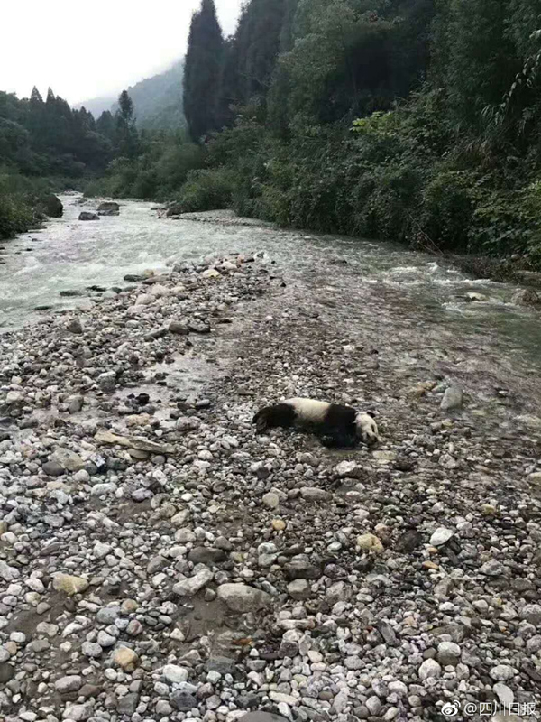 四川洪涝灾害 一只大熊猫溺亡 真的是太心痛了