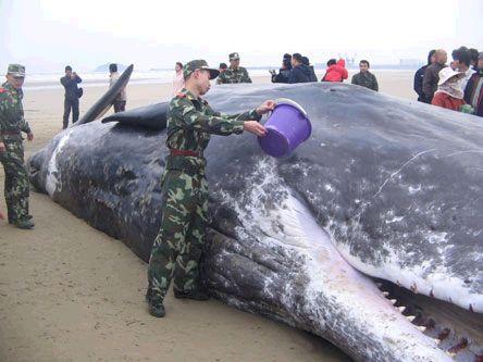 众人援救搁浅虎鲸 真是令人感动