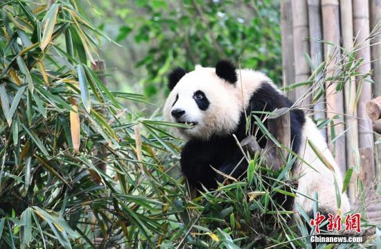 全球圈养熊猫数量 数量高达多少 详情介绍