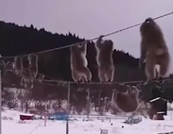 日本猕猴走电线  什么情况 猕猴为什么这么做 详情介绍